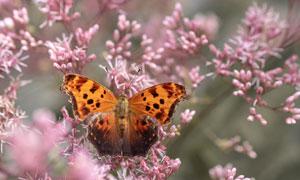 春天花枝上的蝴蝶特写摄影高清图片