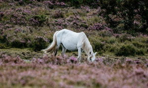 在野外低头吃草的白马摄影高清图片