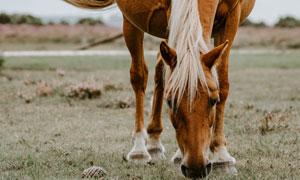 正在草地上觅食的马匹摄影高清图片