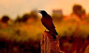 枯木上的乌鸦近景特写摄影高清图片