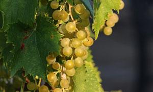 葡萄架上圆溜溜的葡萄摄影高清图片