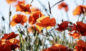 田地里绽放的罂粟花朵摄影高清图片