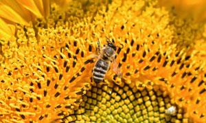 在向日葵花蕊上的蜜蜂摄影高清图片