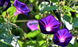 紫色的喇叭花近景特写摄影高清图片