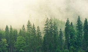 清晨雾气笼罩着的树林摄影高清图片