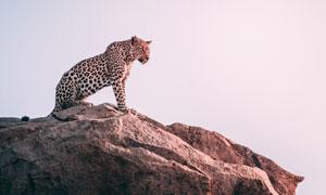 站在山顶上眺望的豹子摄影高清图片