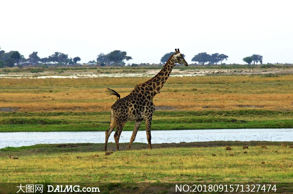 走在草原河边的长颈鹿摄影高清图片
