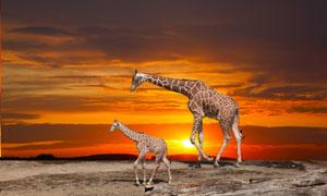 走在夕阳下的俩长颈鹿摄影高清图片