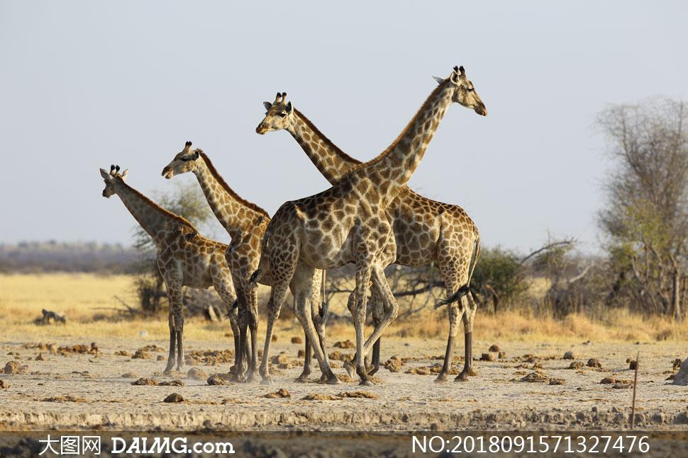 聚集在一起的长颈鹿们摄影高清图片