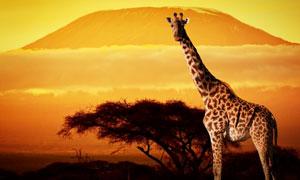 大山树木与长颈鹿主题摄影高清图片