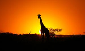 夕阳霞光映衬的长颈鹿剪影高清图片