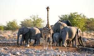长颈鹿与聚集在一起的大象高清图片