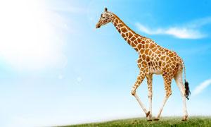 蓝天白云与长颈鹿动物摄影高清图片