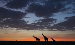 黄昏天空黑云与长颈鹿摄影高清图片
