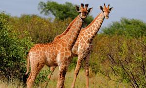 大草原上的两只长颈鹿摄影高清图片