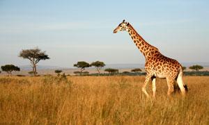 在草丛中漫步的长颈鹿摄影高清图片