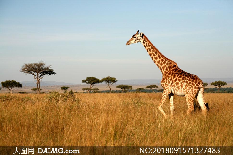 关 键 词: 高清图片大图图片摄影动物长颈鹿自然风景风光树木树丛草原
