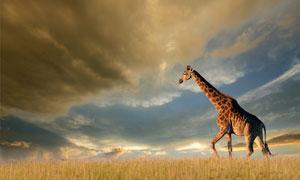 天空云彩与草原上的长颈鹿高清图片