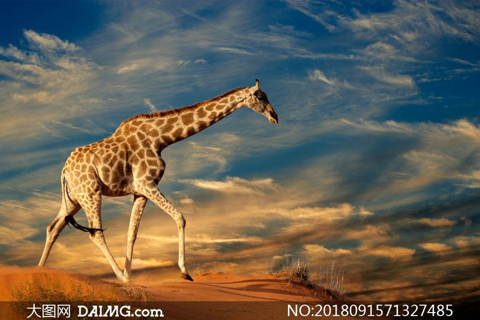 一只站在高处的长颈鹿摄影高清图片