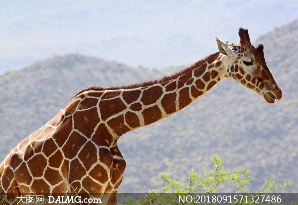 伸长脖子觅食的长颈鹿特写高清图片
