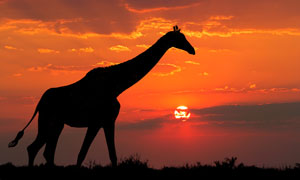 黄昏之时的长颈鹿剪影效果高清图片