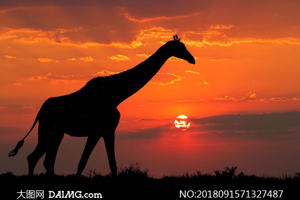 长颈鹿自然风景风光天空云霞云彩黄昏傍晚树木树丛剪影夕阳云层剪影