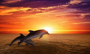 跳跃出海面的两只海豚摄影高清图片