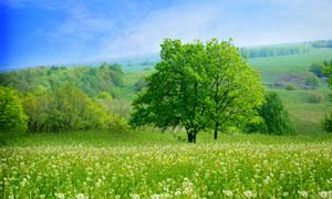 蓝天白云大树与蒲公英田地高清图片