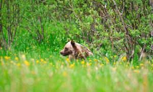 出没在花草树木丛中的棕熊高清图片