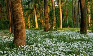 树林里的白色花卉植物摄影高清图片