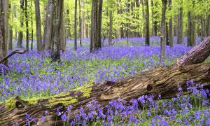 树林中的紫色花卉植物摄影高清图片
