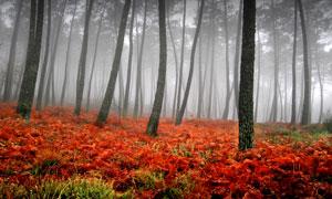 雾气树林中的红色花卉摄影高清图片