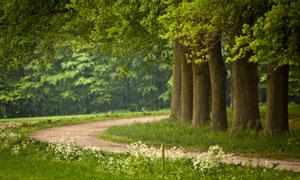 小路边的大树自然风景摄影高清图片