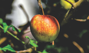 长在树枝上的苹果特写摄影高清图片