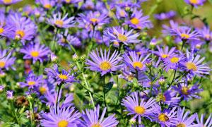 紫色雏菊花卉植物特写摄影高清图片