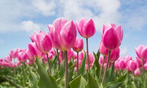 蓝天白云粉红花卉特写摄影高清图片