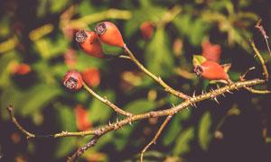 在树枝上的玫瑰果特写摄影高清图片