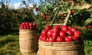 收获季果园里采摘的红苹果高清图片