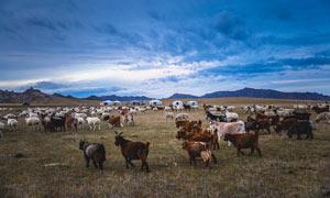内蒙古大草原上的羊群摄影图片