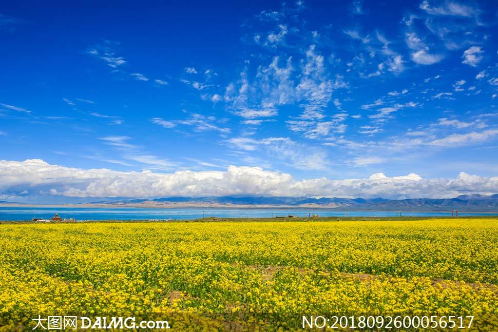 青海美丽的油菜花地摄影图片