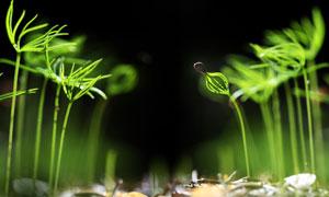幼小植物嫩苗近景特写微距高清图片