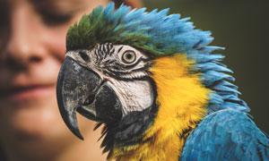 蓝羽金刚鹦鹉近景特写摄影高清图片