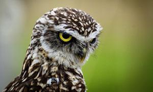 黑白相间羽毛的猫头鹰摄影高清图片