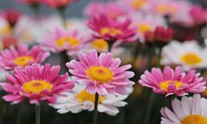 粉红与白色的雏菊花卉植物高清图片