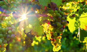枝头挂满葡萄的葡萄架摄影高清图片
