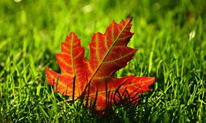 掉落在草丛中的红树叶摄影高清图片