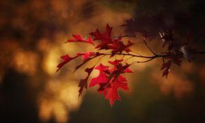 树枝上的红色树叶特写摄影高清图片