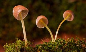 顶着小伞盖的蘑菇特写摄影高清图片