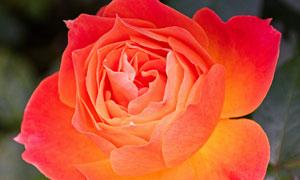 绽放花朵的玫瑰花特写摄影高清图片