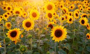 怒放中的向日葵花风光摄影高清图片